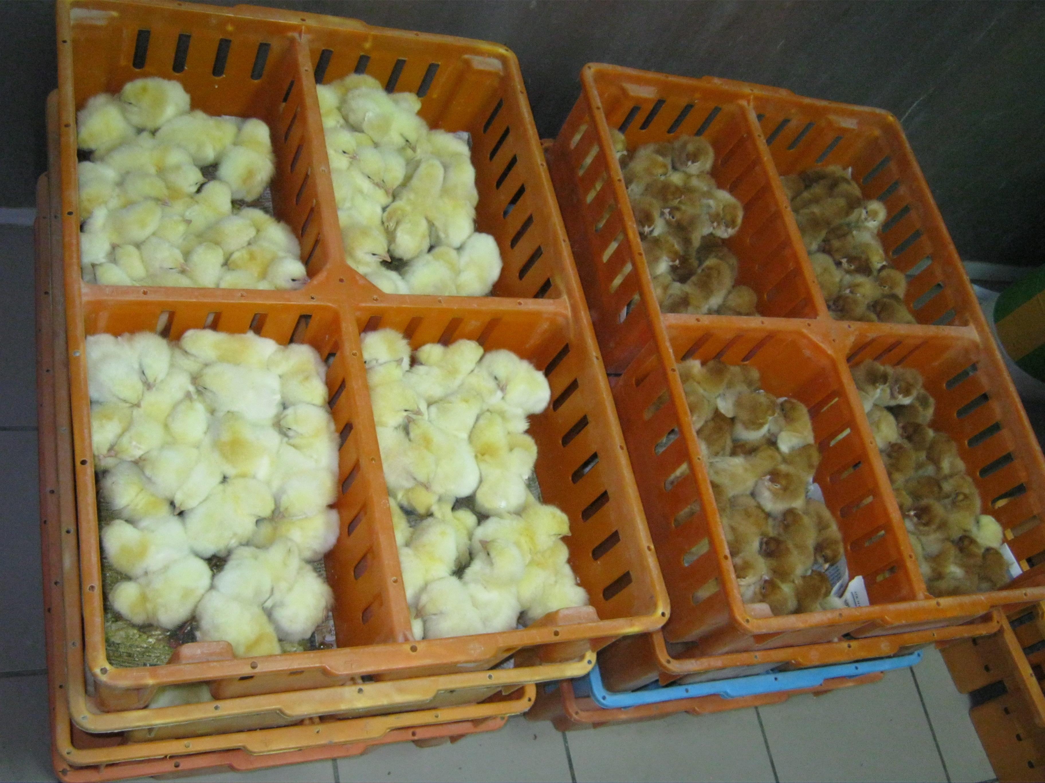 zielononóżki kurki odchowane